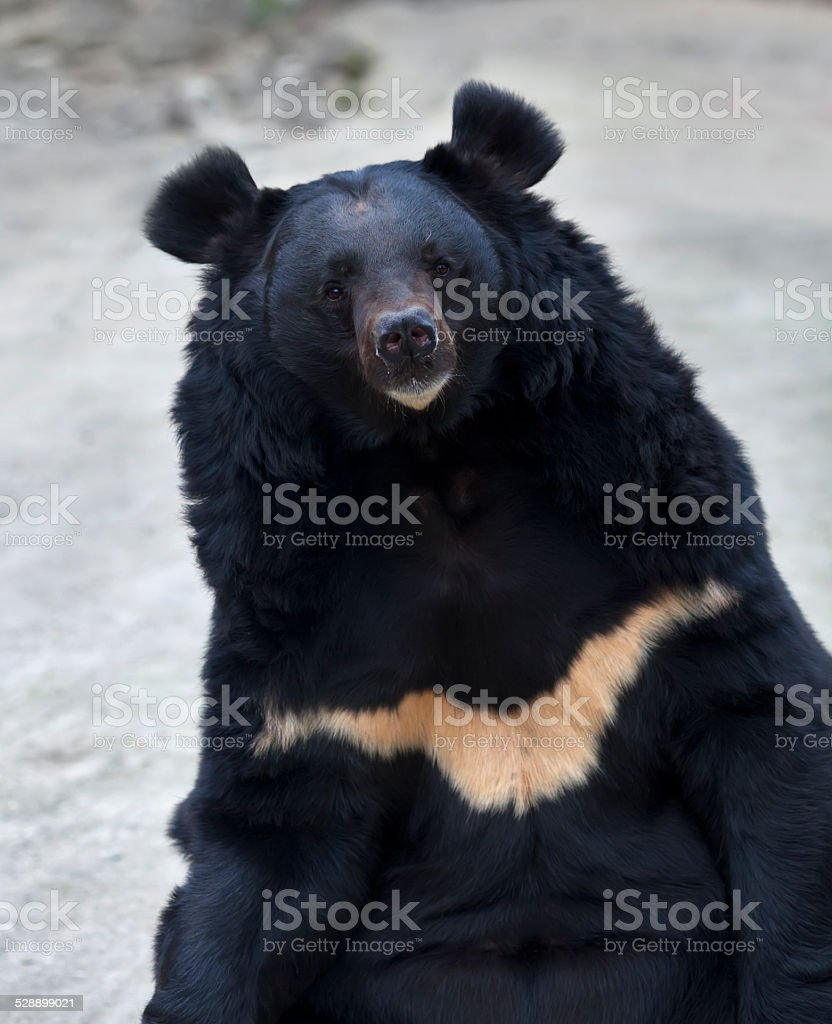 Eye to eye contact with an Asiatic black bear. stock photo