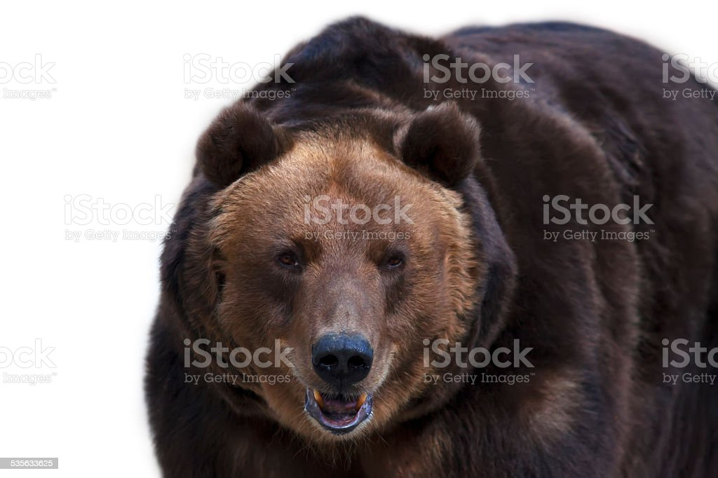 Eye to eye with a brown bear. stock photo