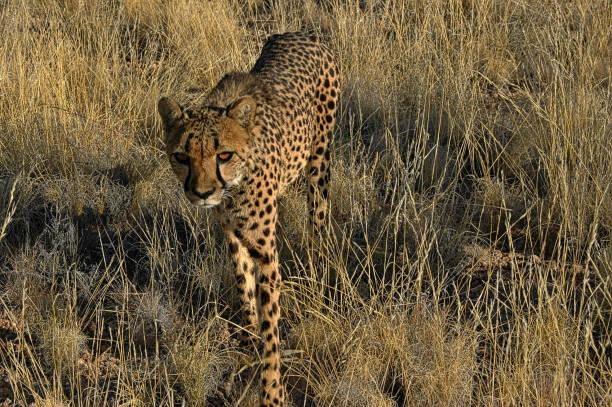 Eye to eye with a Cheetah stock photo