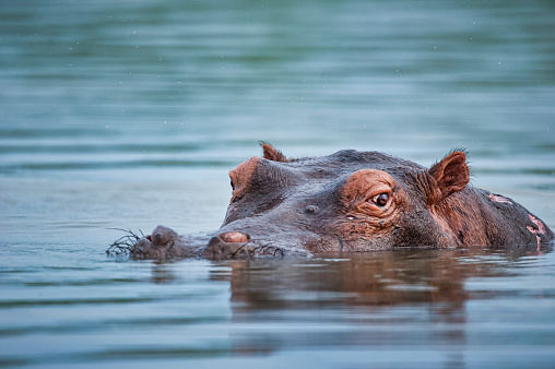 Hippopotamus (Hippopotamus amphibius) with Cattle Egret (Bubulcus ibis) on back, in reeds at edge of River Nile at Murchison Falls National Park, Uganda