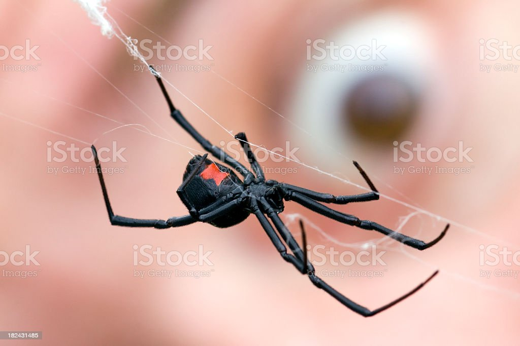 Eyeball behind Black Widow Spider royalty-free stock photo