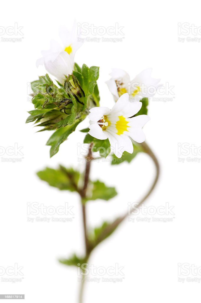 Eyebright Flower And Plant Isolated On White stock photo