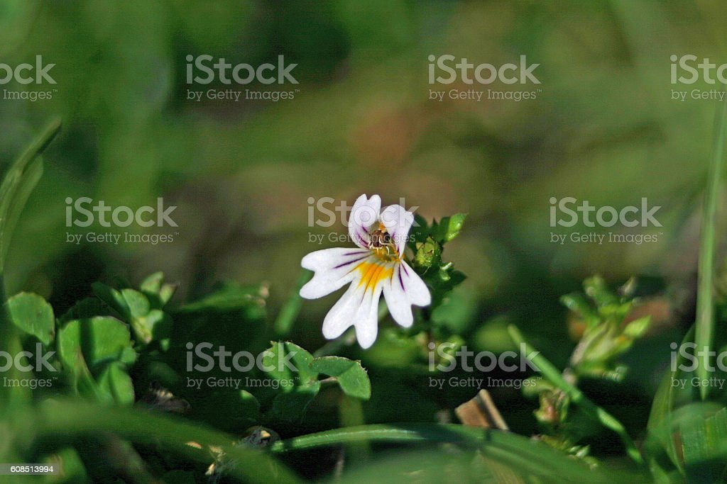 Eyebright flower stock photo