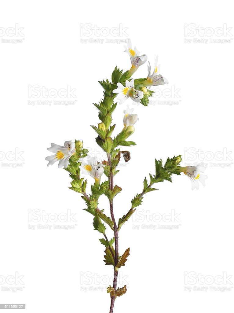 Eyebright (Euphrasia officinalis) stock photo