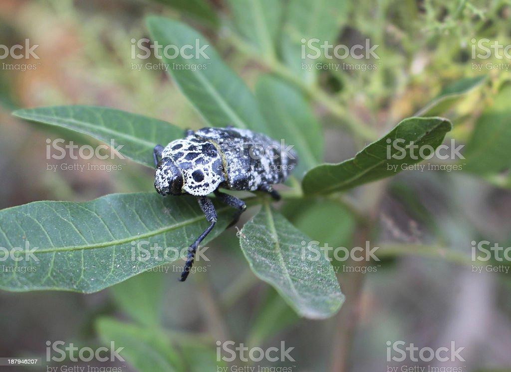Eyed Click beetle stock photo