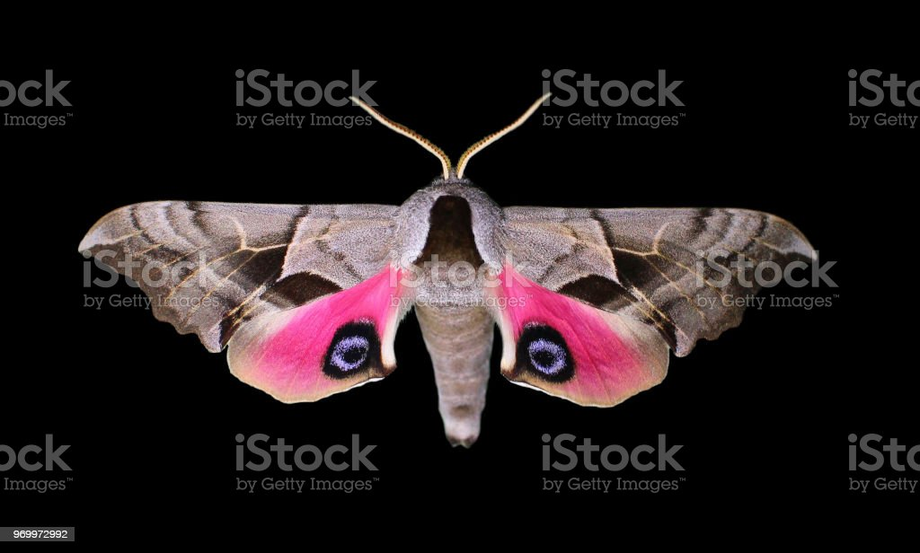 Eyed Hawk Moth with Spread Wings stock photo