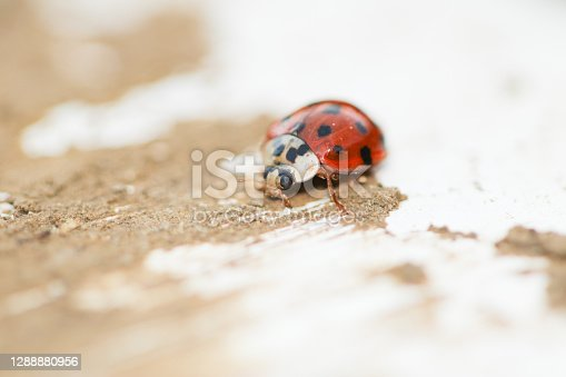 Eyed ladybird close up macro photography red with black spots and white colour sitting on a white and brown rustic agricultural building