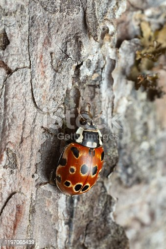 Closeup of eyed ladybug, Anatis Ocellata on pine bark.