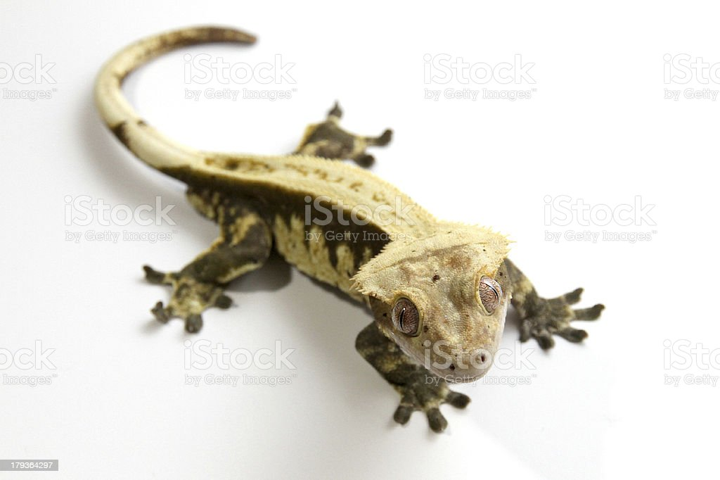 Eyelash Crested Gecko Stock Photo More Pictures Of Animals Crest