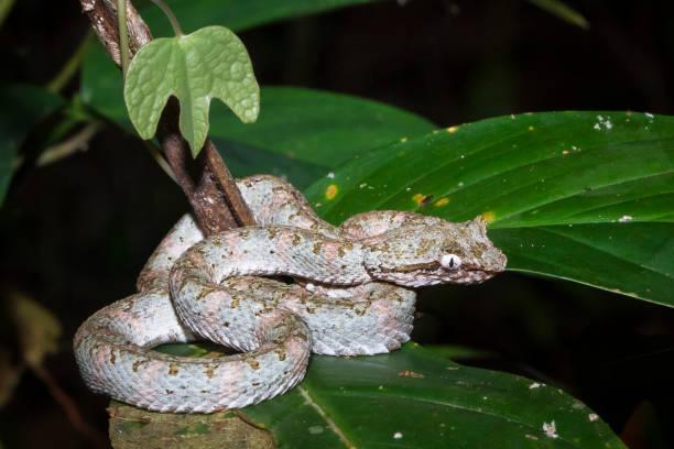wimpern-viper in costa rica - zorn tod und regen stock-fotos und bilder