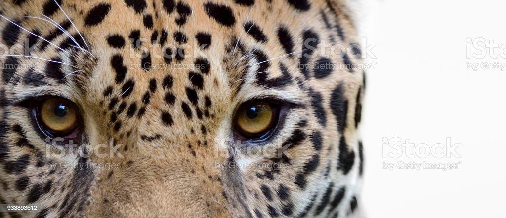 eyes of a jaguar stock photo