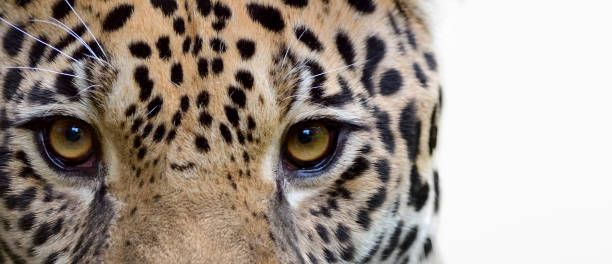 eyes of a jaguar - big cat stock pictures, royalty-free photos & images