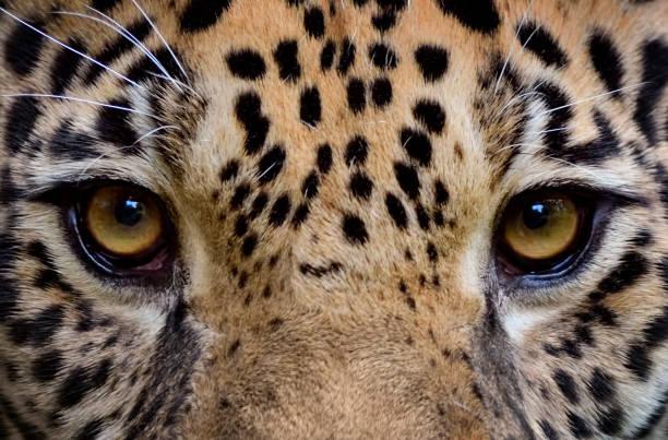 eyes of a jaguar close-up of a jaguar (Panthera onca) jaguar cat stock pictures, royalty-free photos & images