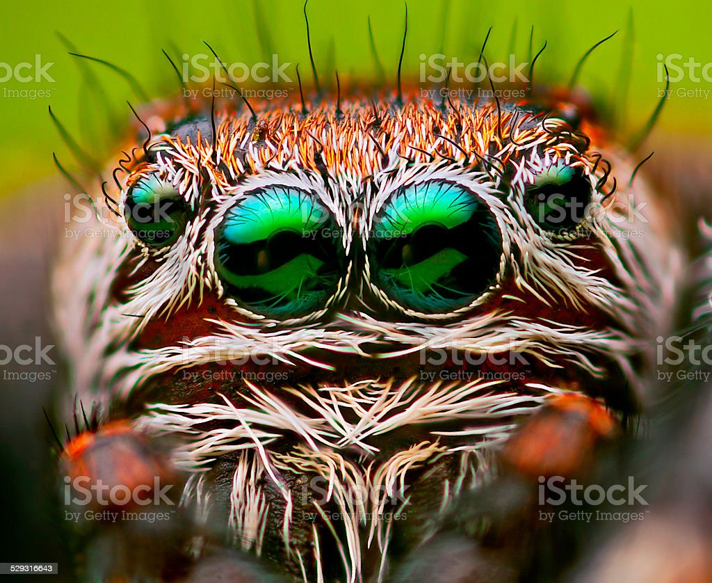 Eyes of a Jumping spider stock photo