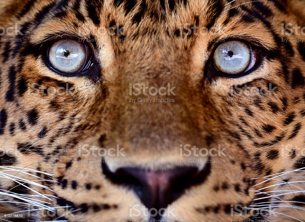 eyes of a leopard stock photo