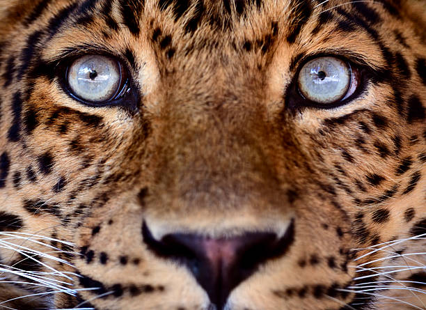eyes of a leopard - animal eye stock pictures, royalty-free photos & images