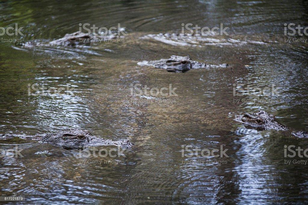 eyes of crocodiles stock photo