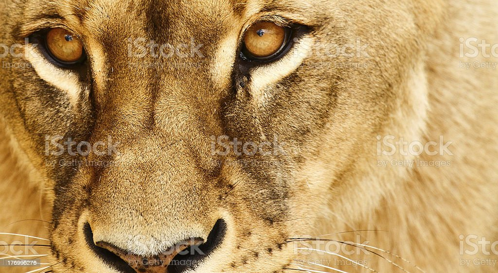 Eyes of lioness royalty-free stock photo
