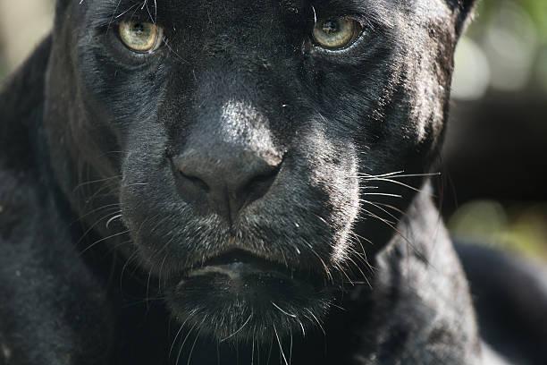 augen der predator - schwarzer puma stock-fotos und bilder
