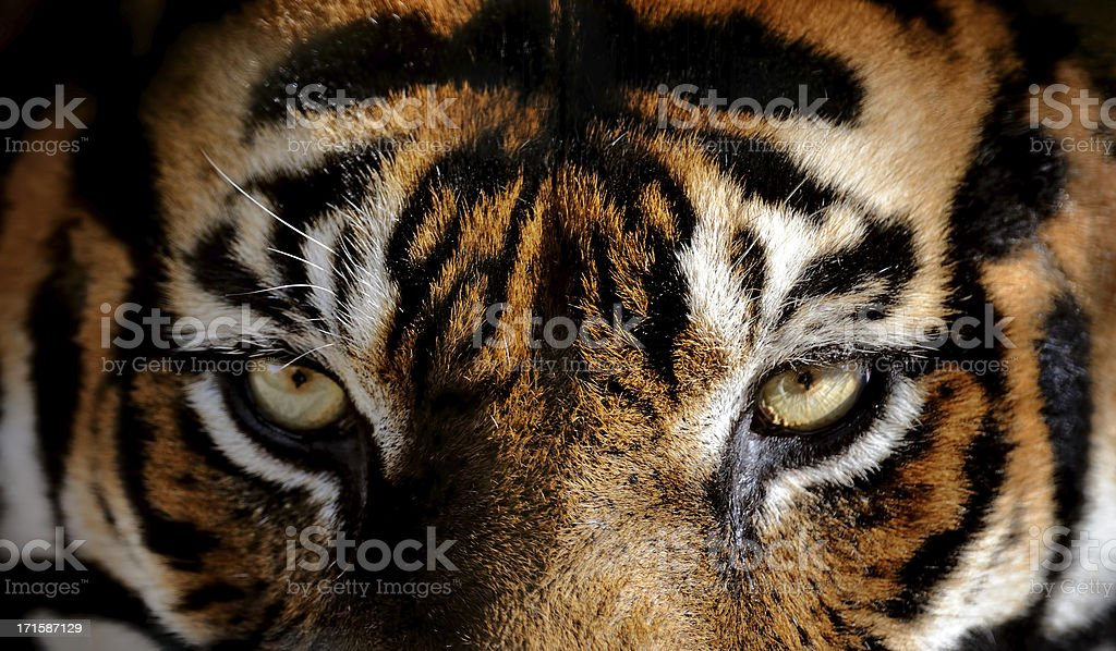 Eye Of The Tiger Pics royalty free tiger eye pictures, images and stock photos - istock