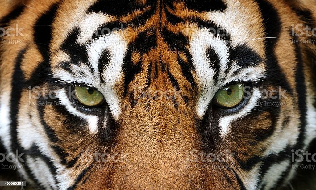 eyes of the tiger royalty-free stock photo