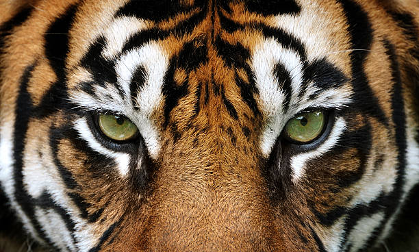 eyes of the tiger - wildlife stock photos and pictures