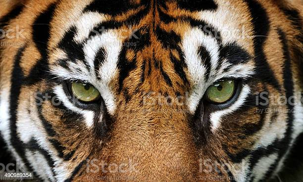 Photo of eyes of the tiger