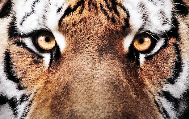 eye of the tiger pdf