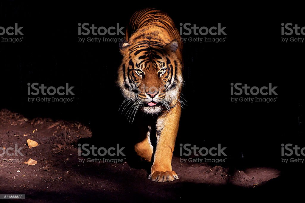 Eyes of the Tiger - Royalty-free Animal Stock Photo