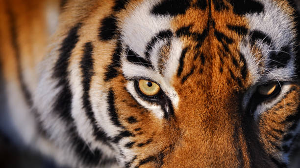 eyes of the tiger - tiger stock photos and pictures