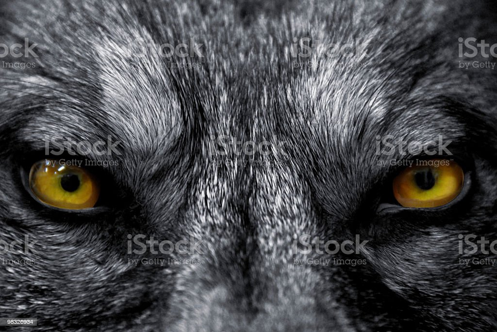 eyes of wolf royalty-free stock photo