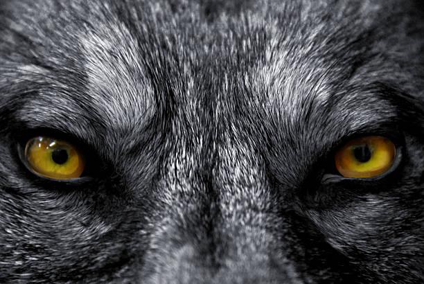 아이즈 of wolf - 악한 뉴스 사진 이미지