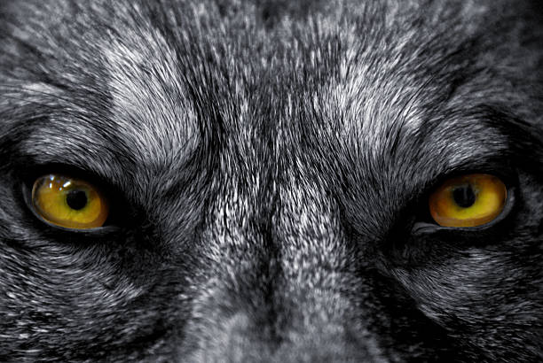 eyes of wolf - animal eye stock pictures, royalty-free photos & images