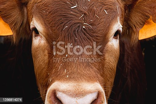 istock Eyes red cow, close-up. Big beautiful limousin bull cow head close-up. Cattle breeding. 1256814074