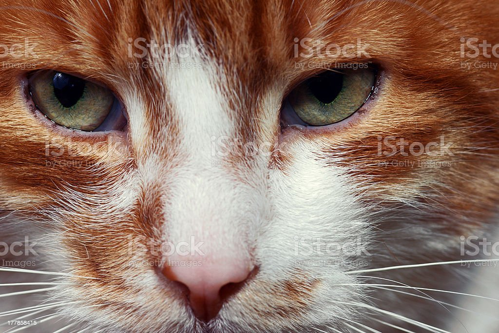 Eyes red-haired cat royalty-free stock photo