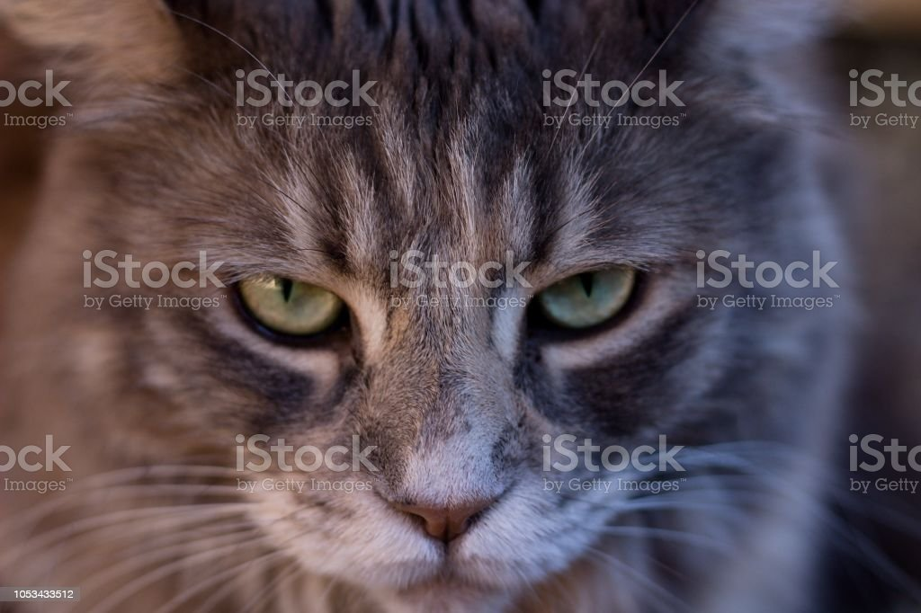 face detail of maine coon cat stock photo