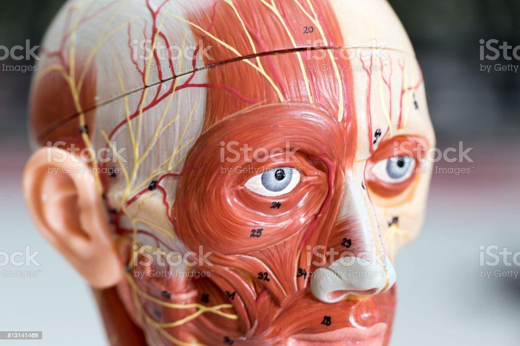 Modelo De Anatomía Humana De Cara Del Músculo Para La Educación De ...