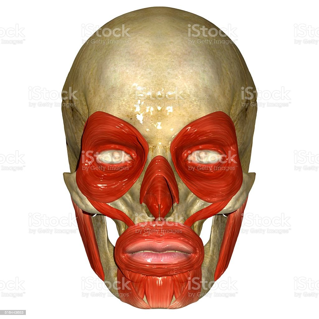 Gesicht Muskeln - Stockfoto | iStock