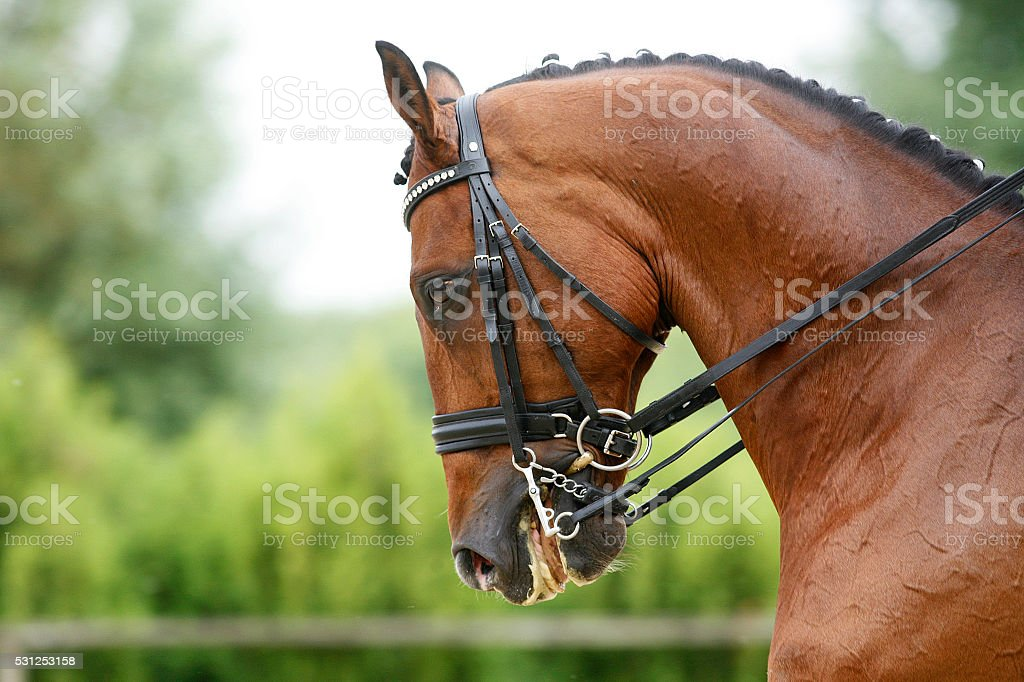 Face of a beautiful purebred racehorse on dressage training outd stock photo