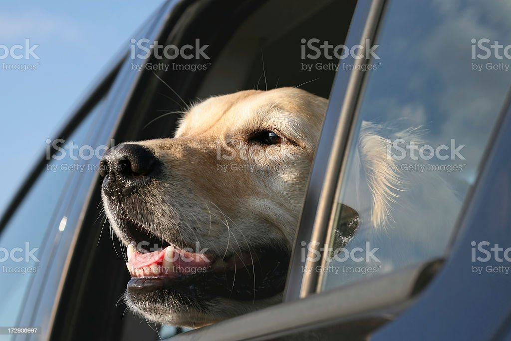 Face of a golden retriever looking outside of a car window stock photo