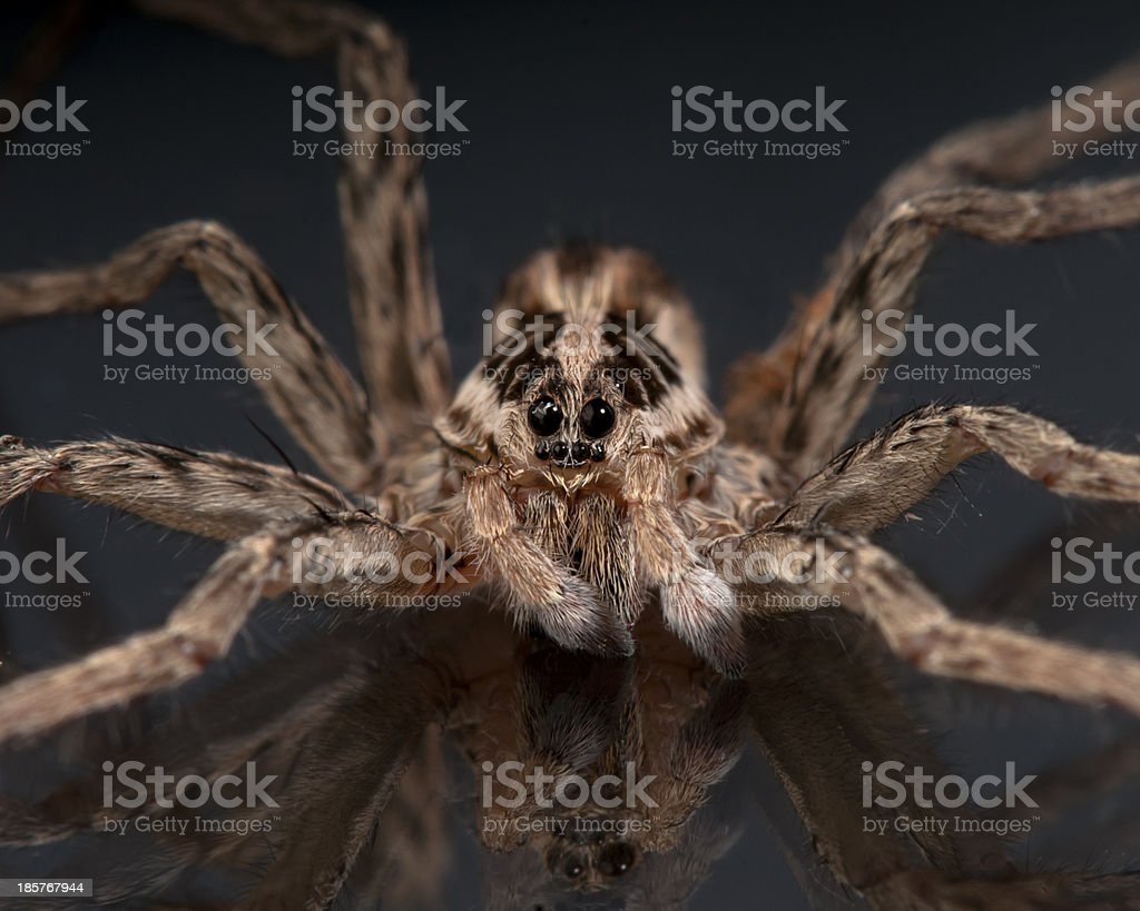 Face of a Wolf Spider royalty-free stock photo