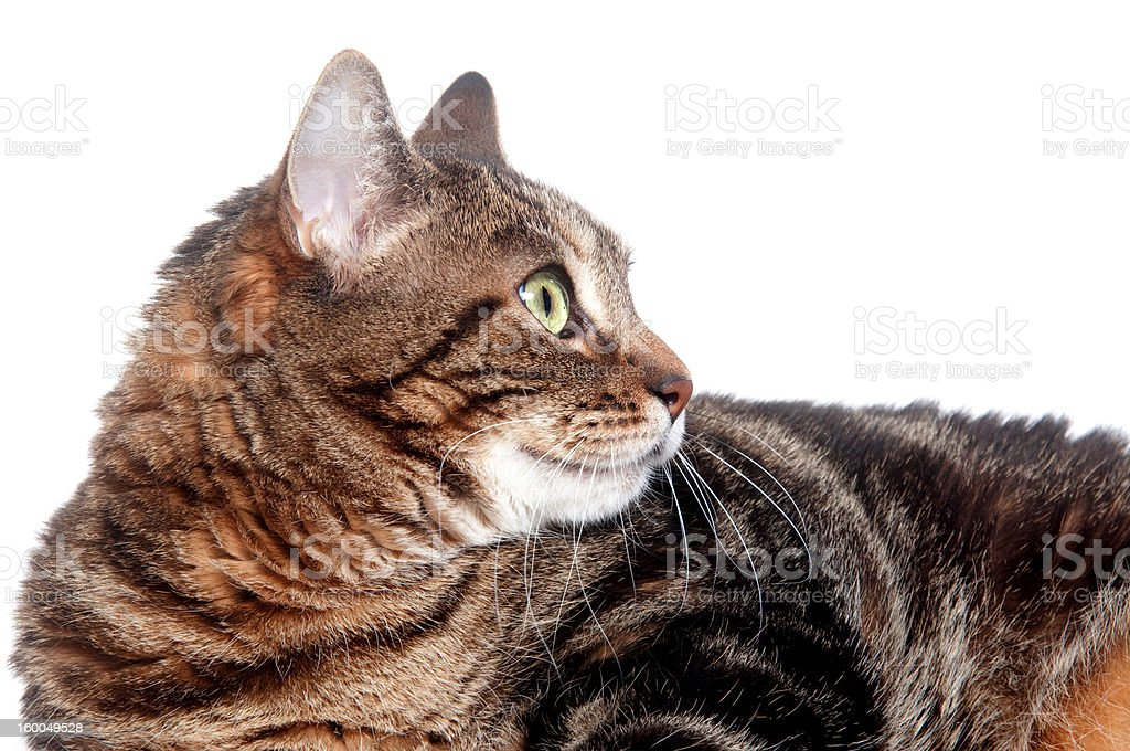 Face of adult tabby cat stock photo