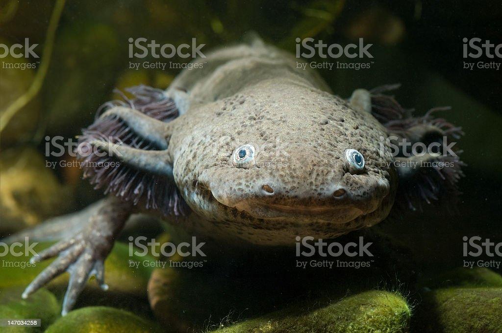 Axolote de una cara - foto de stock