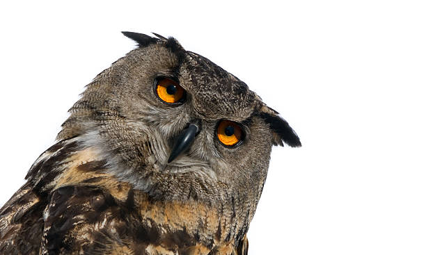 Face of an owl looking at camera picture id480537956?b=1&k=6&m=480537956&s=612x612&w=0&h=f5wjj1eo8ewwsnb5g4vwwqjdgzdd1omufptsjtdwlgm=