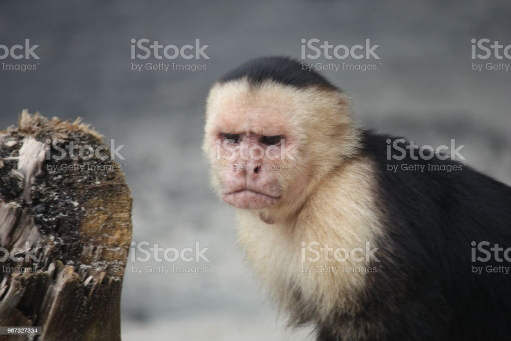 Face of angry monkey stock photo