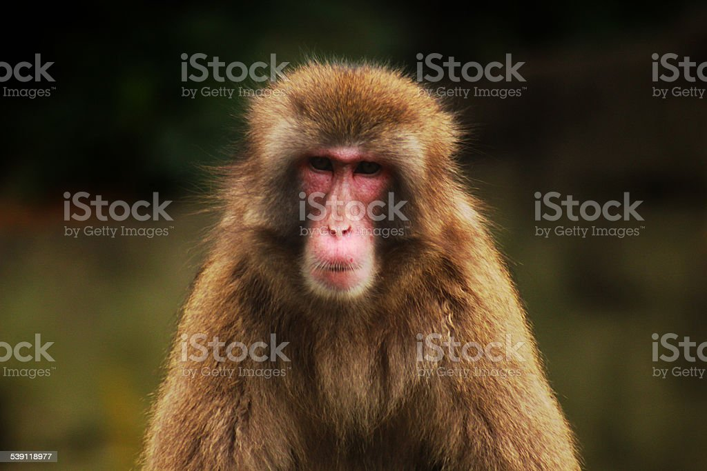 Face of baboon stock photo