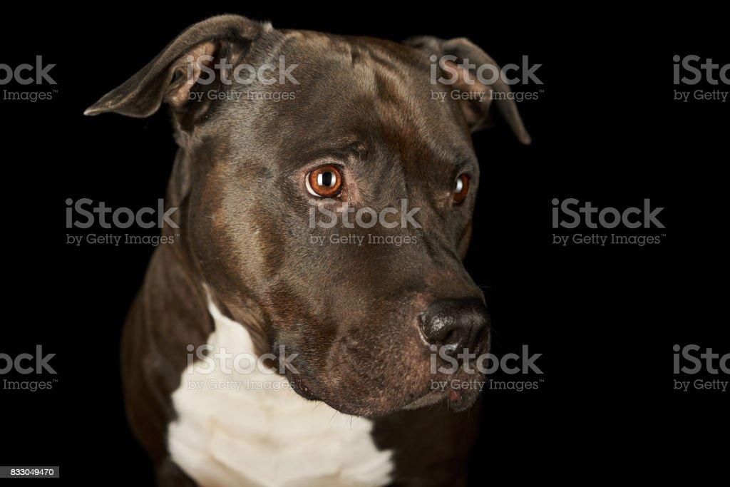 face of beautiful american stafford dog stock photo