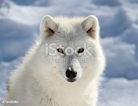 portrait of arctic wolf during winter