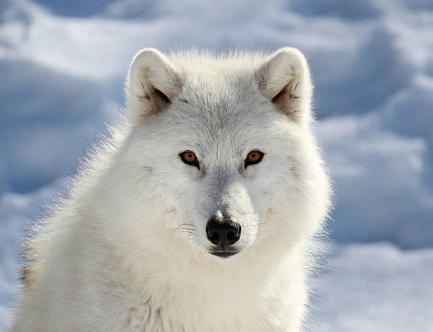 face of big arctic wolf stock photo