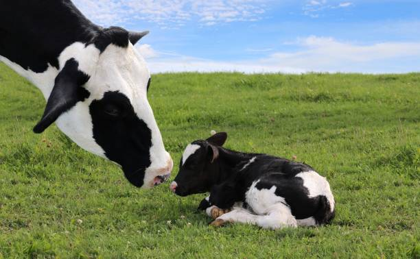 Face of black and white cow bonding with her new baby Close-up of mother Holstein cow's face watching over her tiny newborn calf laying in the meadow on a beautiful summer day holstein cattle stock pictures, royalty-free photos & images